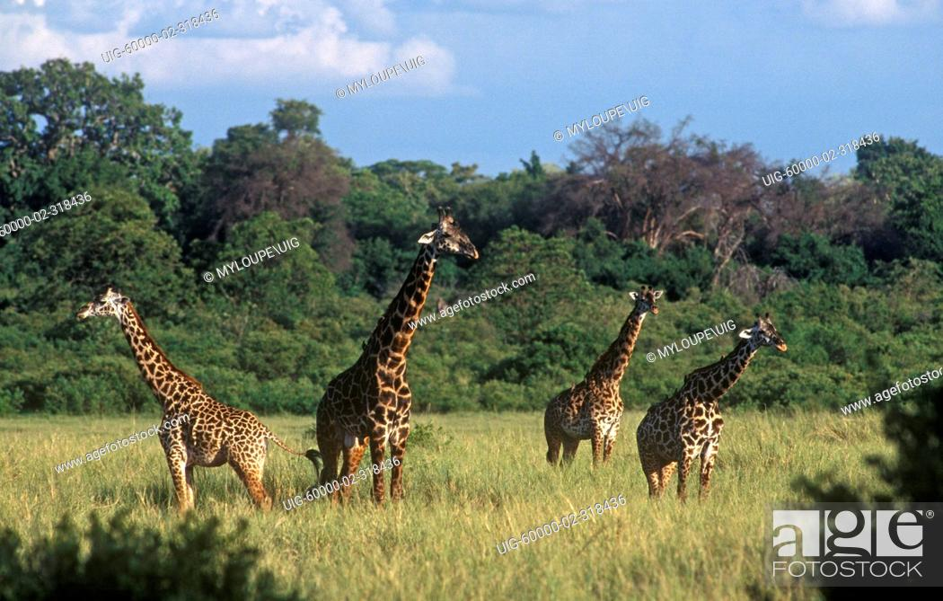 Stock Photo: Male MASSAI GIRAFFE Giraffe Camelopardalis can weigh as much as 4250 pounds - LAKE MANYARA NATIONAL PARK, TANZANIA.