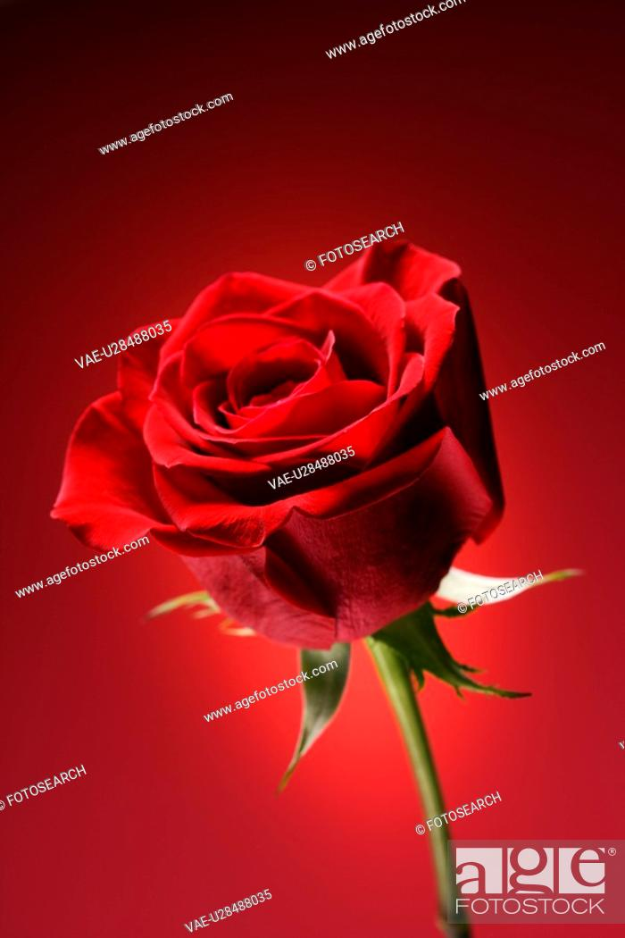 Photo de stock: Single long-stemmed red rose against glowing red background.