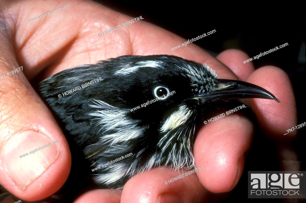 Stock Photo: close view of new holland honeyeater in hand.