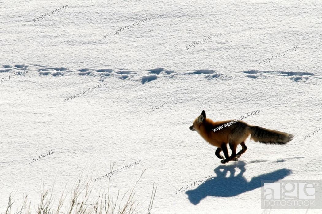Stock Photo: Red Fox (Vulpes vulpes).