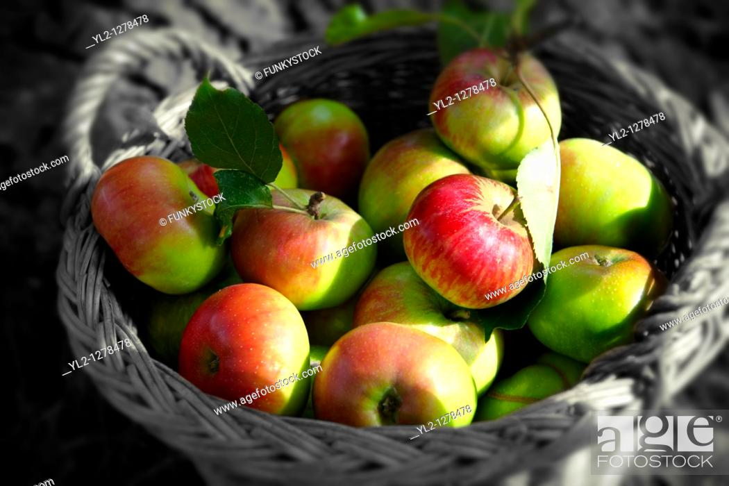 Stock Photo: Fresh organic apples harvested in a basket in an apple orchard.