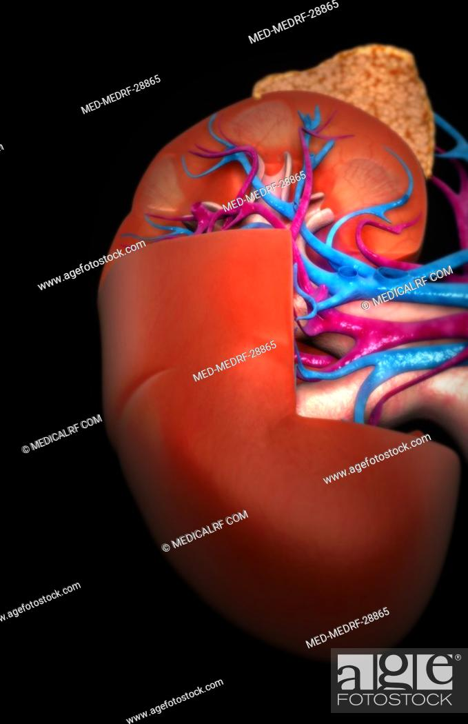 Stock Photo: Blood supply of the kidneys.