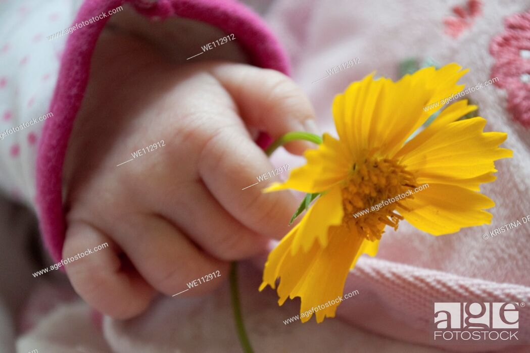 Stock Photo: The hand of a baby girl holding a Coreopsis flower.