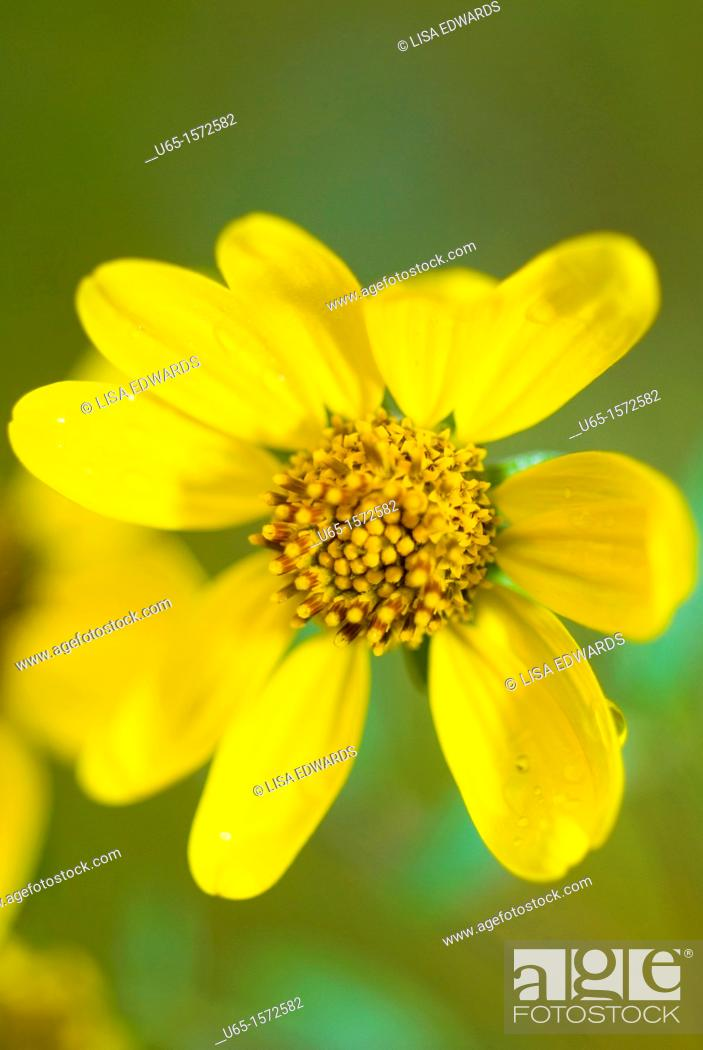 Stock Photo: Yellow wildflowers, Lake Alice, Wyoming, USA.