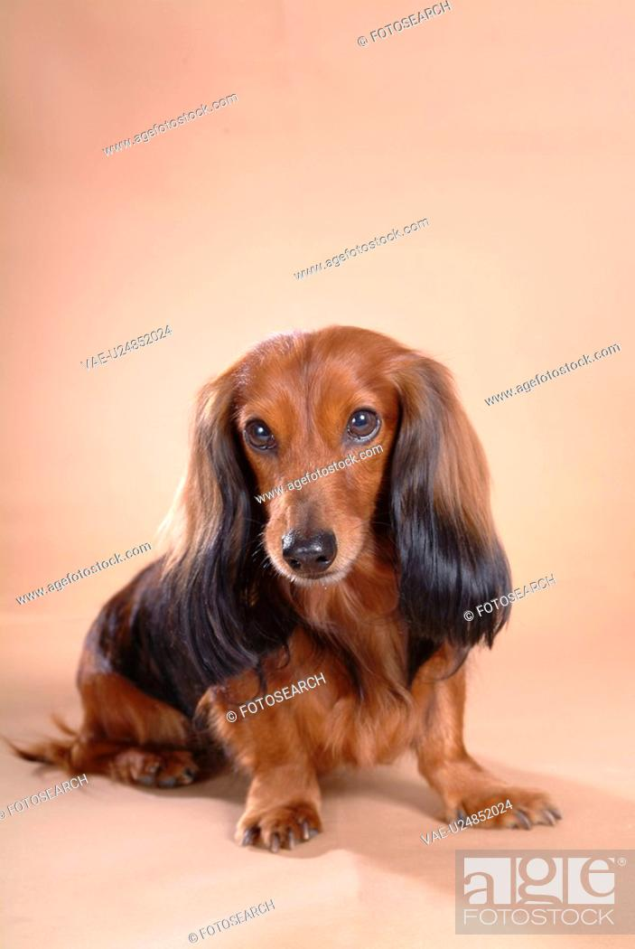 Stock Photo: looking forward, animal, domestic animal, dachshund, dog, looking camera, pet.