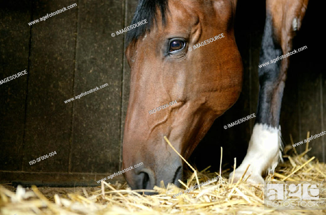 Stock Photo: A bay horse eating hay.