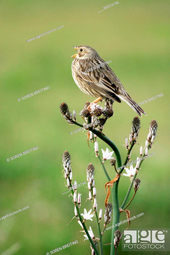 Stock Photo: Corn bunting (Miliaria calandra) male singing from song post at top of Asphodel (Asphodelus) in Greece in springtime.