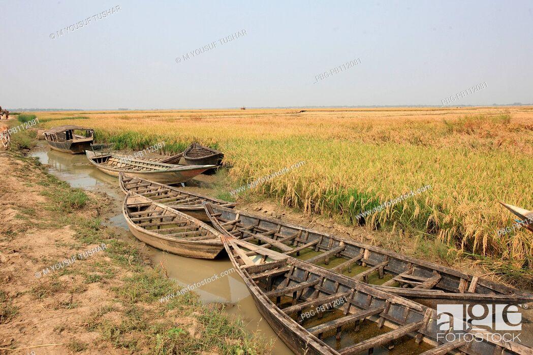 Photo de stock: A paddy field at Rajshahi district of Bangladesh.