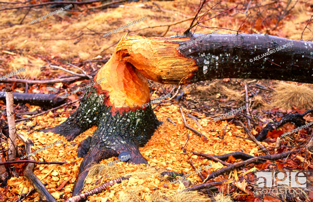 Stock Photo: Beaver's works in Acadia National Park. Maine, USA.