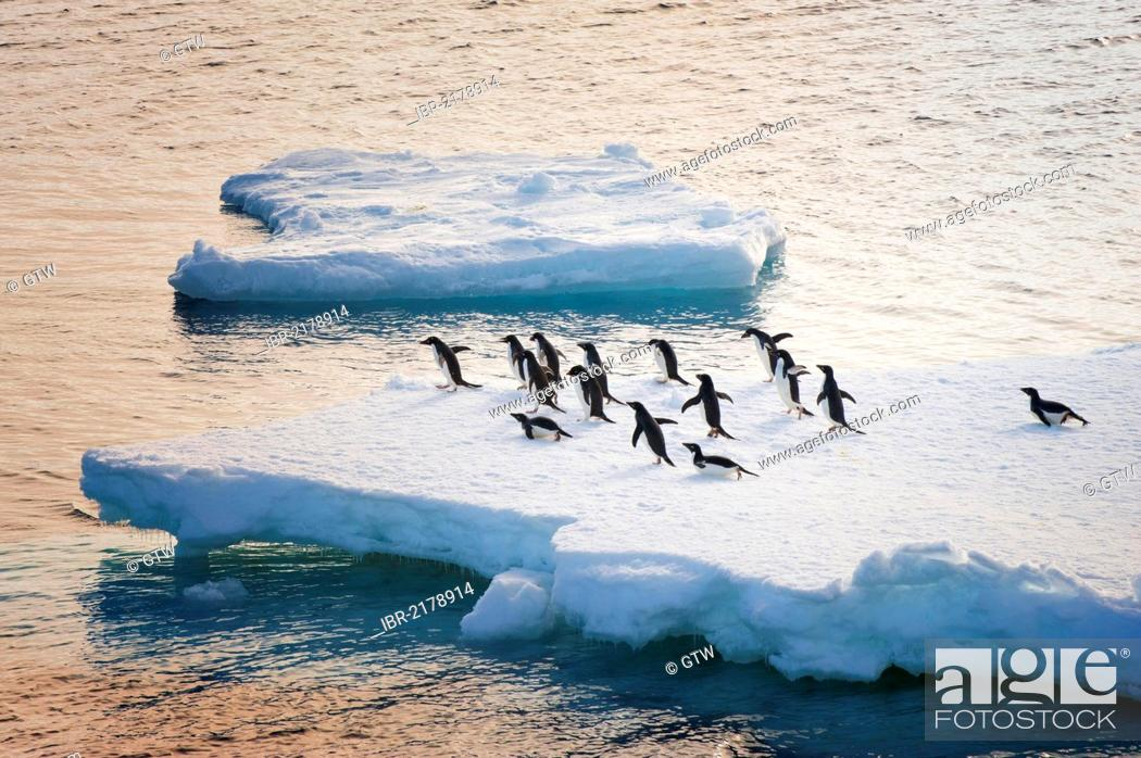Imagen: Adelie penguins (Pygoscelis adeliae) on an iceberg, Antarctic Sound, Antarctic Peninsula, Antarctica.