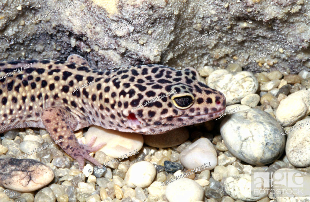 Stock Photo: Leopard Gecko (Eublepharis macularius).
