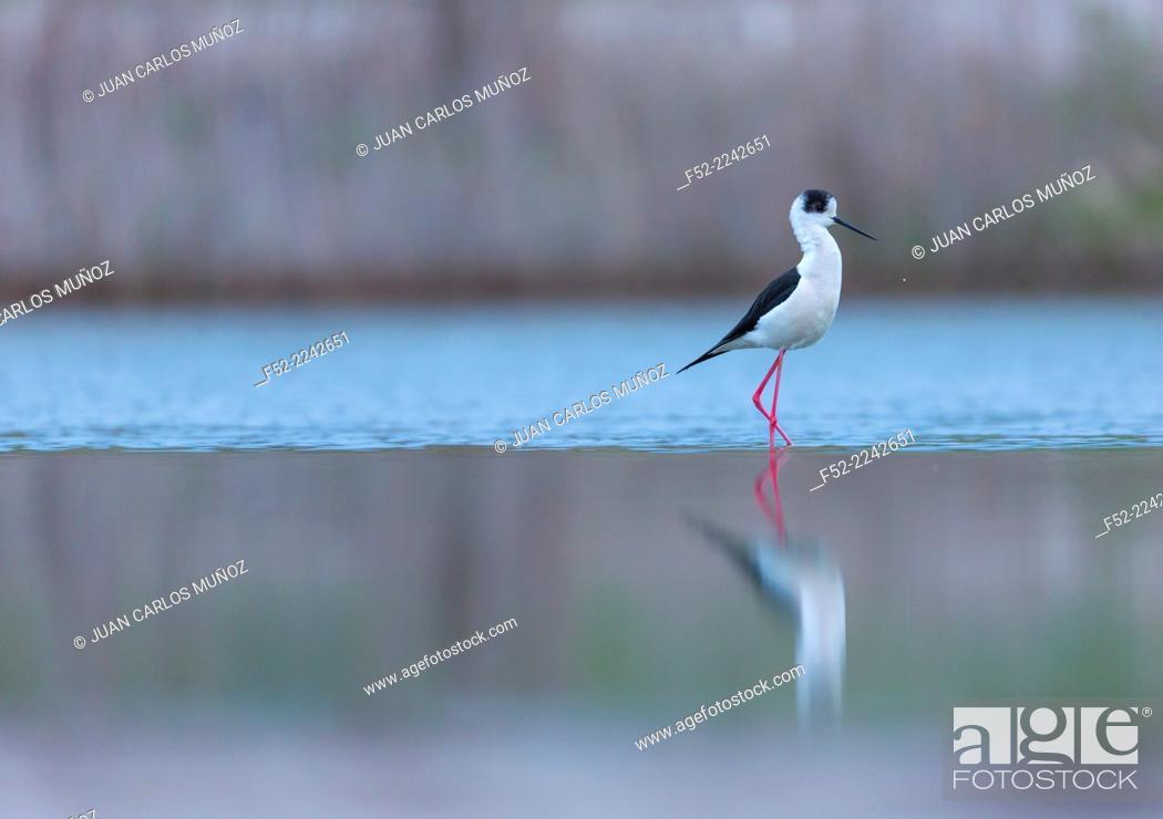Stock Photo: Black-winged stilt, common stilt, or pied stilt (Himantopus himantopus), Bulgaria.