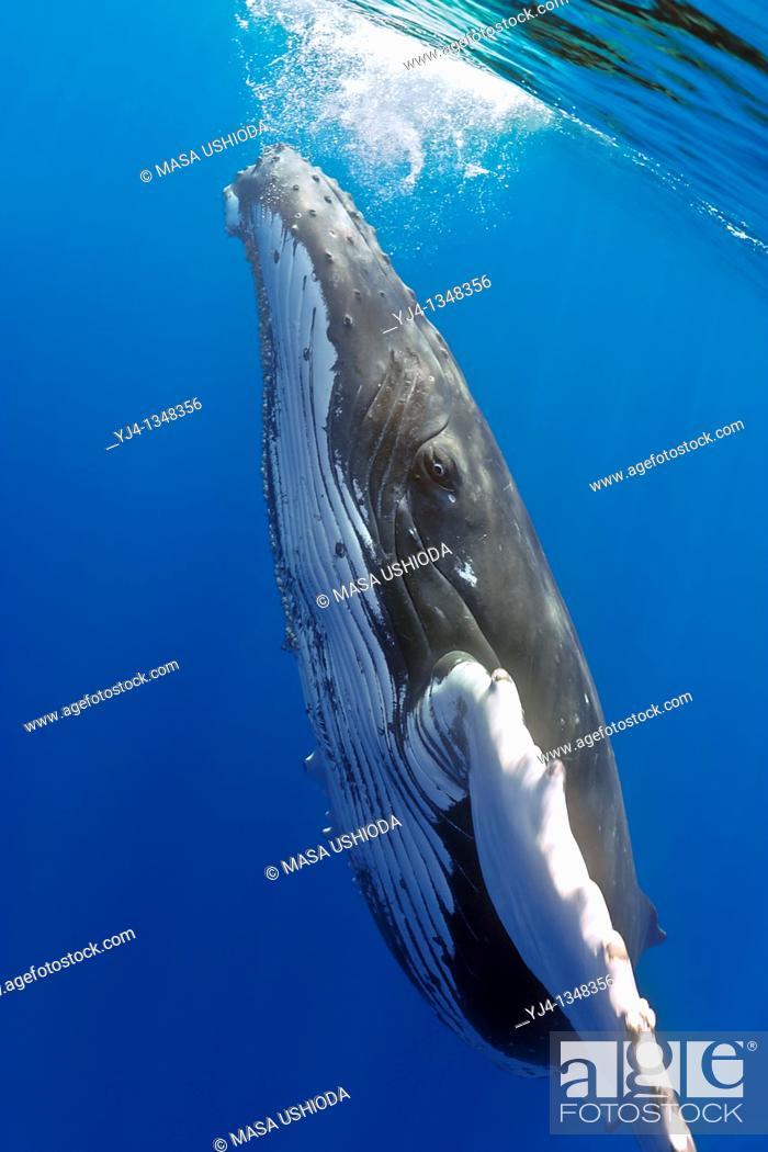 Stock Photo: humpback whale, Megaptera novaeangliae, Hawaii, USA, Pacific Ocean.