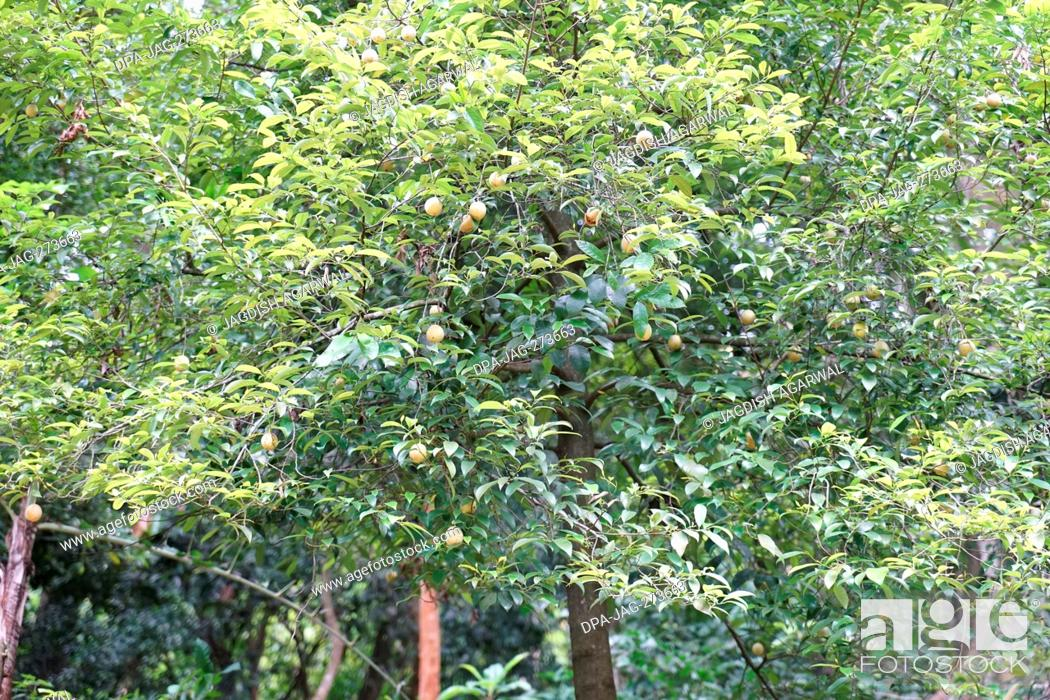 Stock Photo: Nutmeg tree, Kurumba Village Resort, Hillgrove, Karamadai, Burliyar, Nilgiris, Tamil Nadu, India.