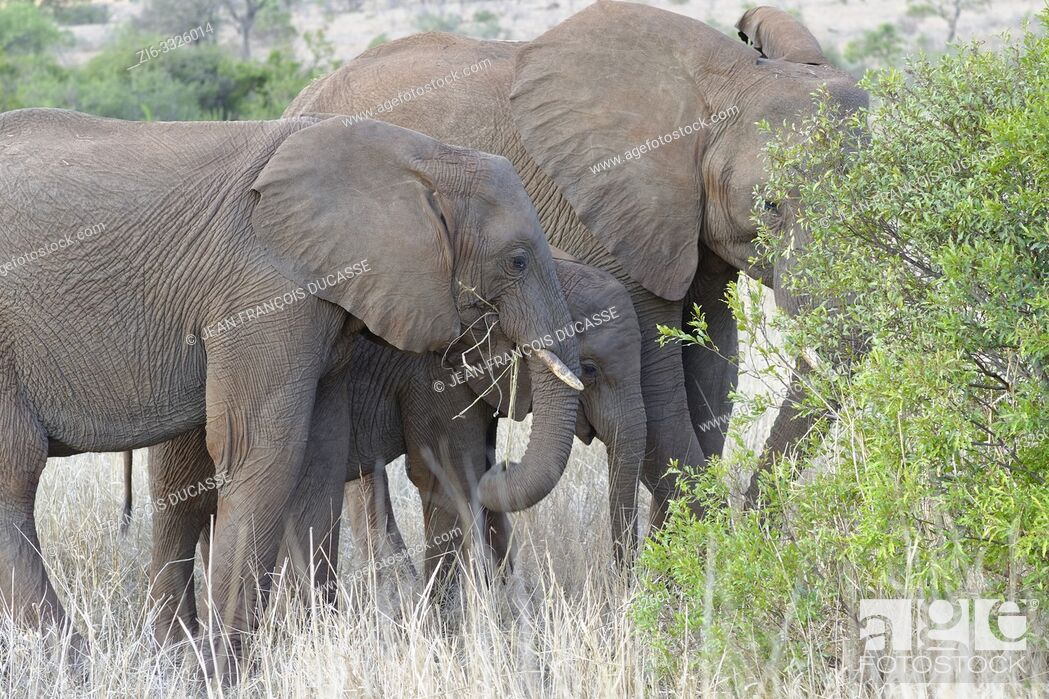 Stock Photo: African bush elephants (Loxodonta africana), elephant baby with two young feeding on dry grass and roots, Kruger National Park, South Africa, Africa.