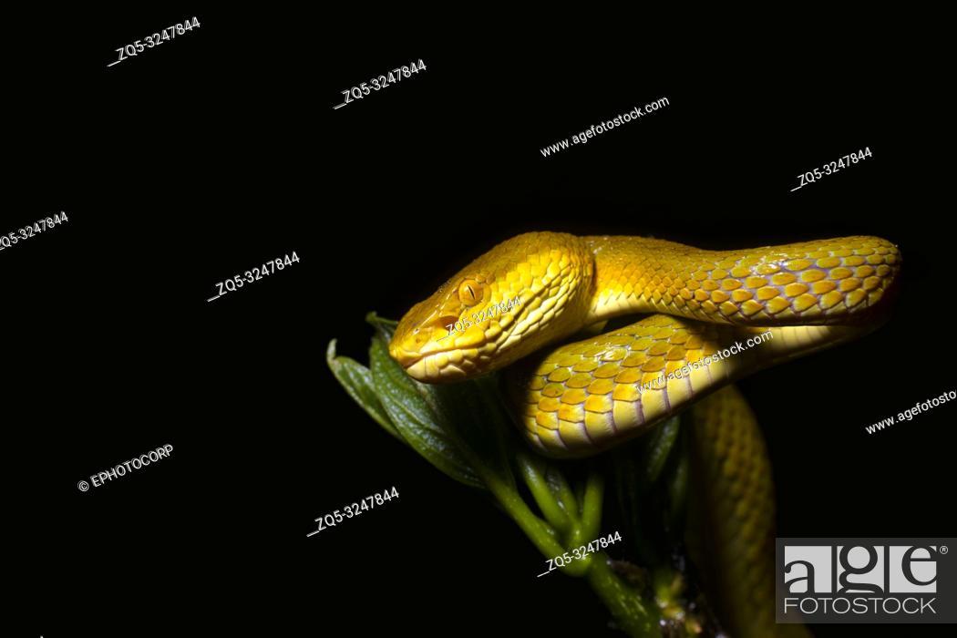 Stock Photo: Bamboo Pit Viper, Yellow Morph, Trimeresurus gramineus, Amboli, Sindhudurg, Maharashtra, India.