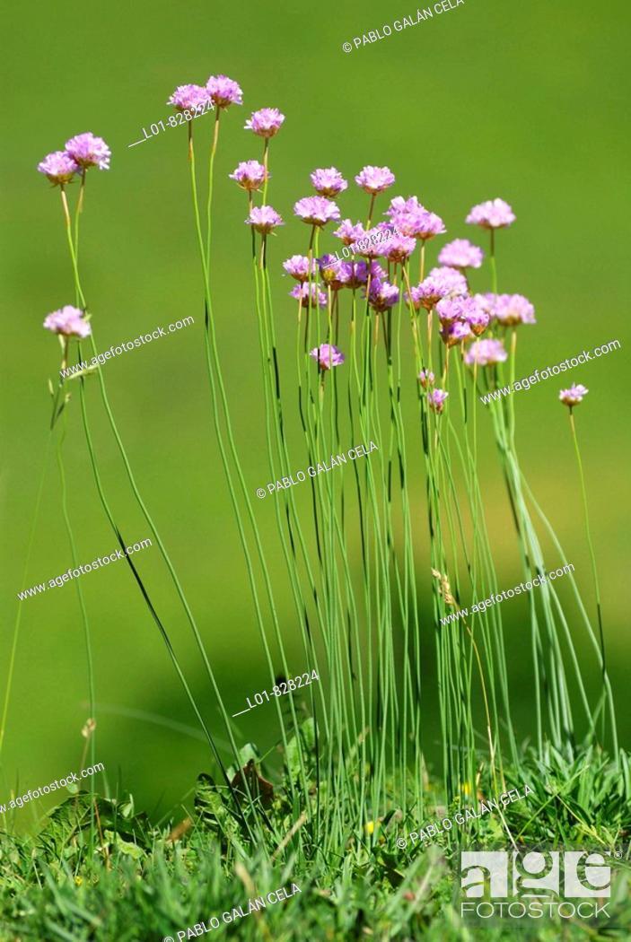 Stock Photo: Armeria arenaria, Pyrenees Mountains.