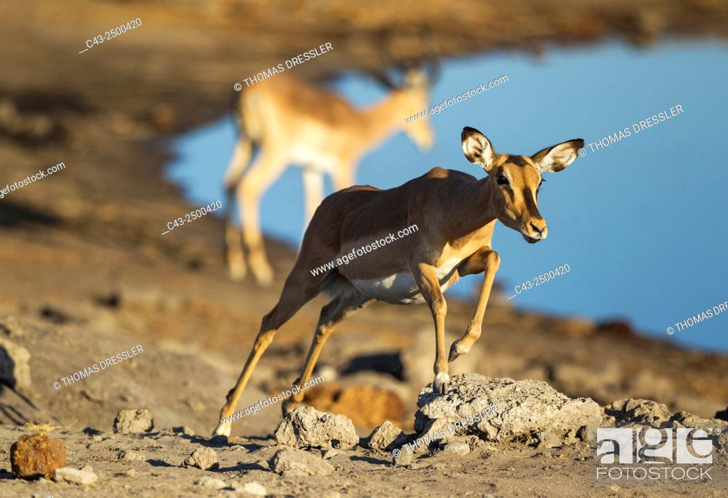 Stock Photo: Black-Faced Impala (Aepyceros melampus petersi) - Running female near a waterhole. In the background another impala. Etosha National Park, Namibia.