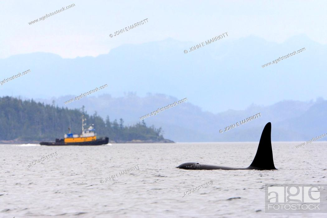 Stock Photo: Killer whale Orcinus orca, commonly referred to as the orca whale or orca and tugboatin Johnstone Strait, BC, Canada.