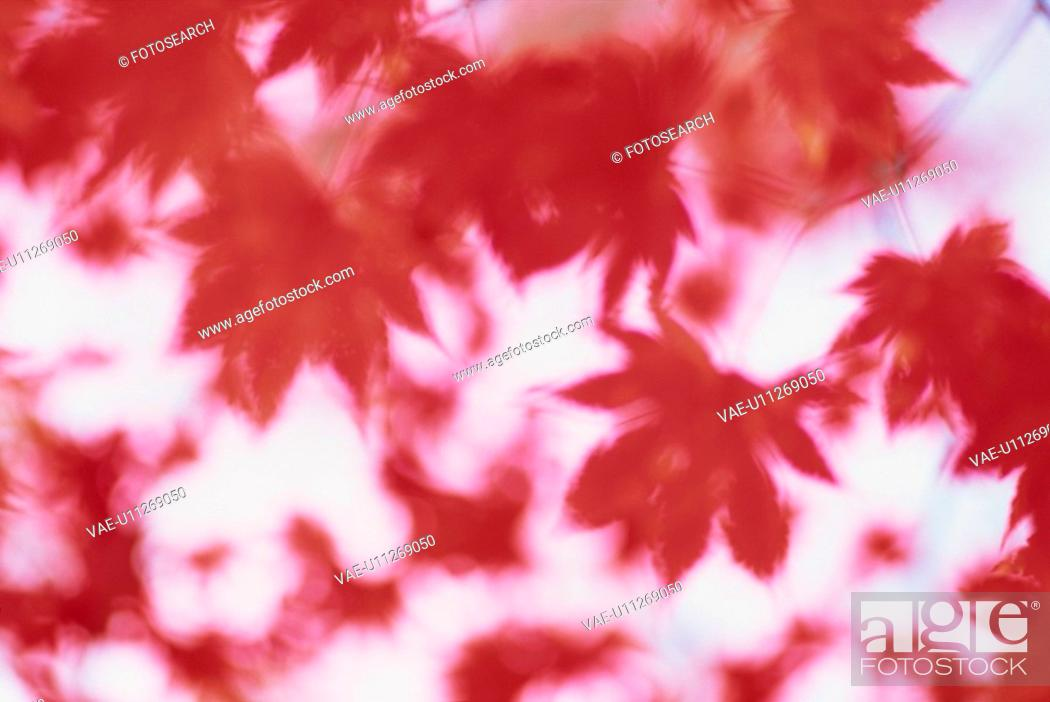 Stock Photo: Autumn Leaves.