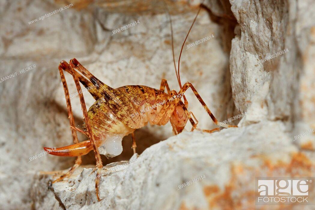 Imagen: Cave cricket (Troglophilus neglectus), female.