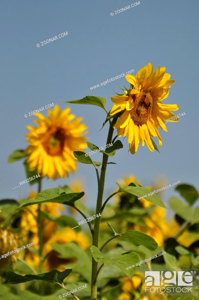 Imagen: Sonnenblume blühend, mit blauem Himmel,.