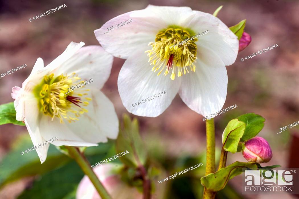 Imagen: Hellebore, Helleborus nigerm, Christmas Rose.