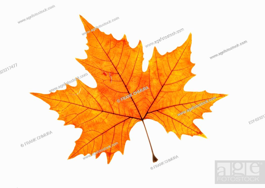 Stock Photo: Closeup of Brown Autumn Leaf - Isolated on White.