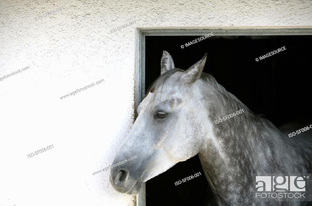 Stock Photo: A grey appaloosa horse.