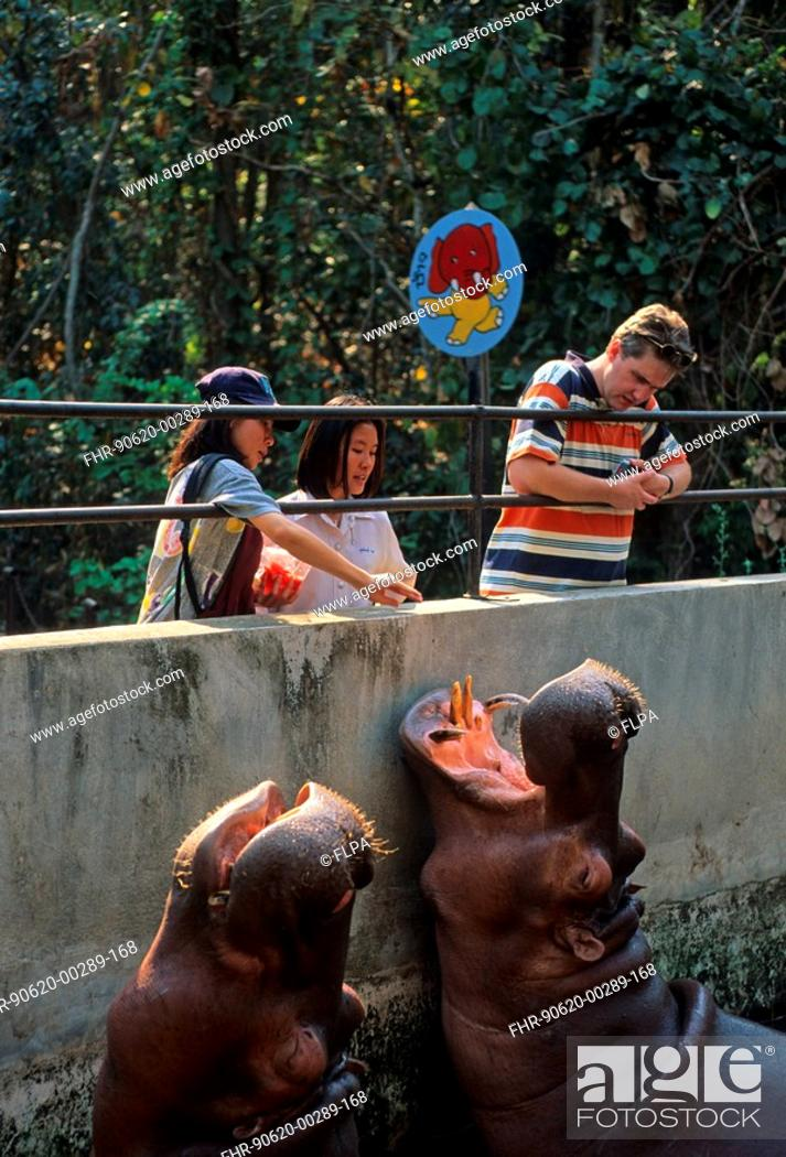 Stock Photo: People and animals, River Hippos Hippopotamus amphibus with visitors, Chaing Mai Zoo, Thailand.