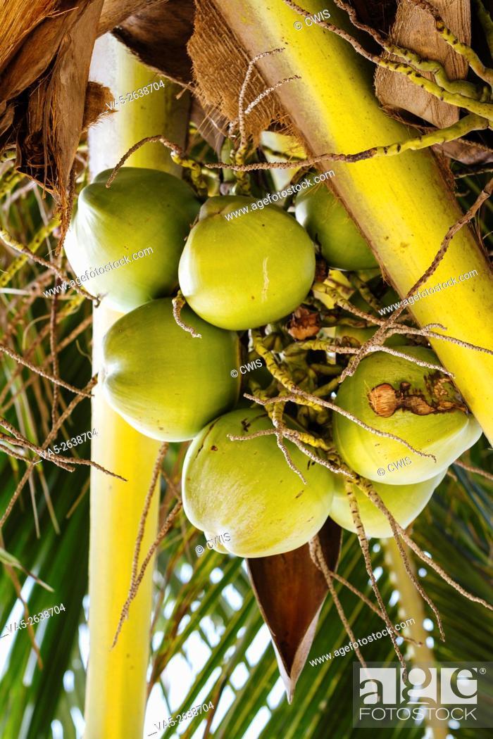 Imagen: Hainan Island, China - The view of many fresh coconut on the tree.