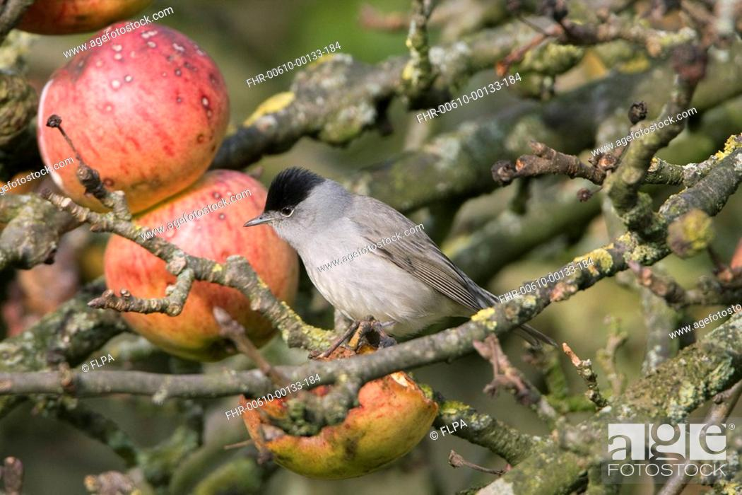 Stock Photo: Blackcap Sylvia atricapilla adult male, feeding on apples in tree, England, december.