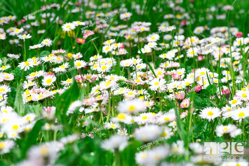 Stock Photo: Daisies growing in field.