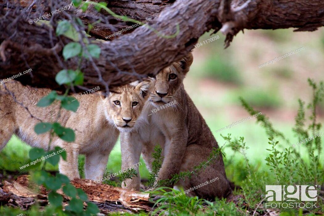 Stock Photo: African Lions Panthera leo - Cubs, in the bush, Kgalagadi Transfrontier park, Kalahari desert, South Africa.