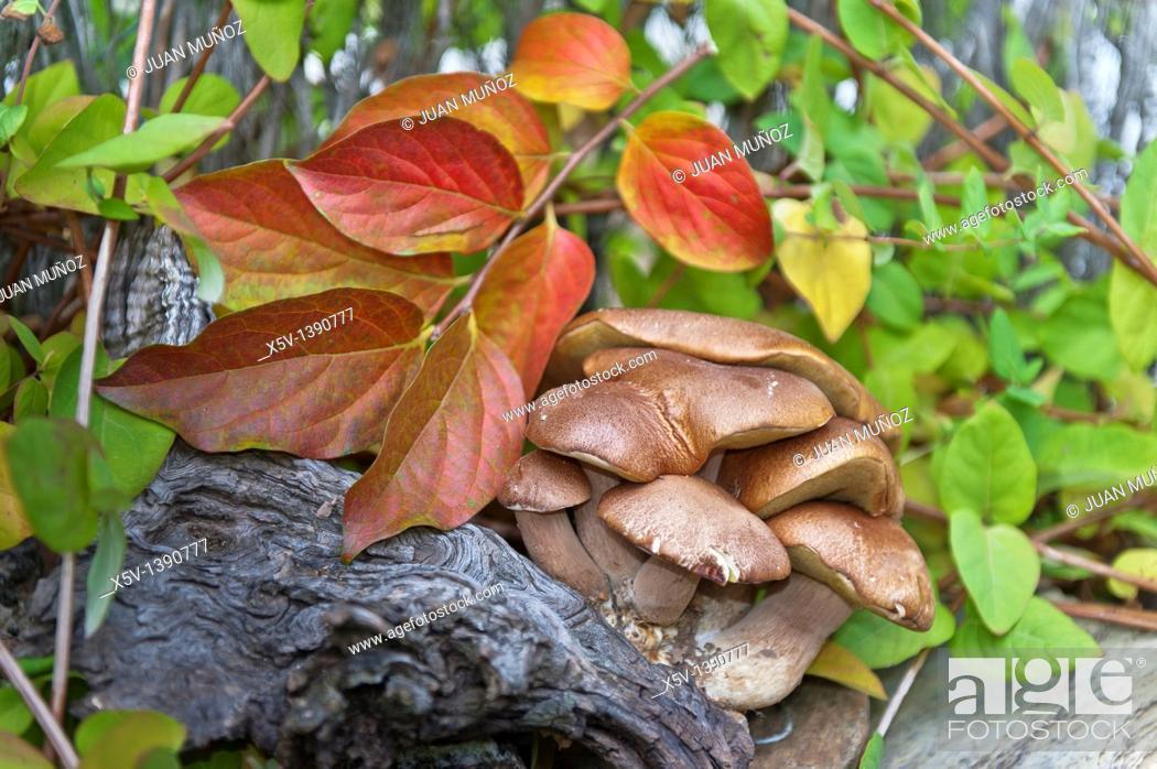 Stock Photo: Bolete (Boletus aereus), Sierra de Aracena y Picos de Aroche Natural Park, Huelva province, Andalusia, Spain.