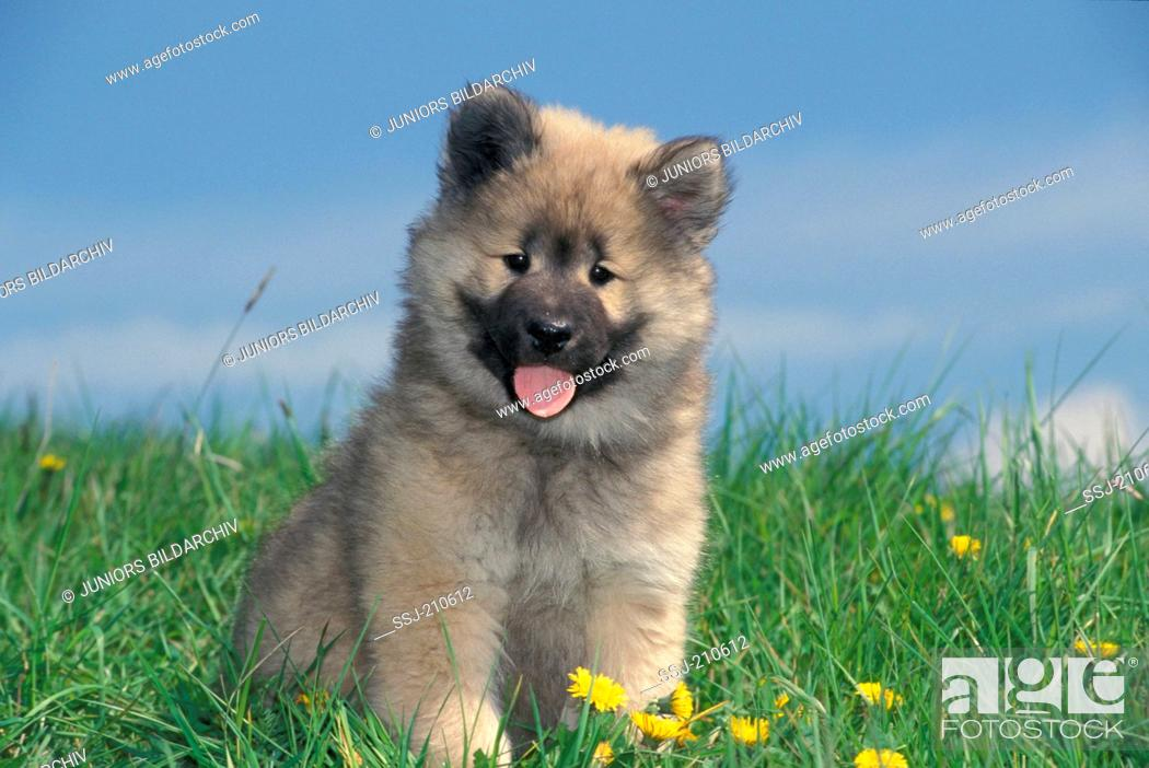 Stock Photo: Eurasier, Eurasian. Puppy sitting on a meadow. Germany.