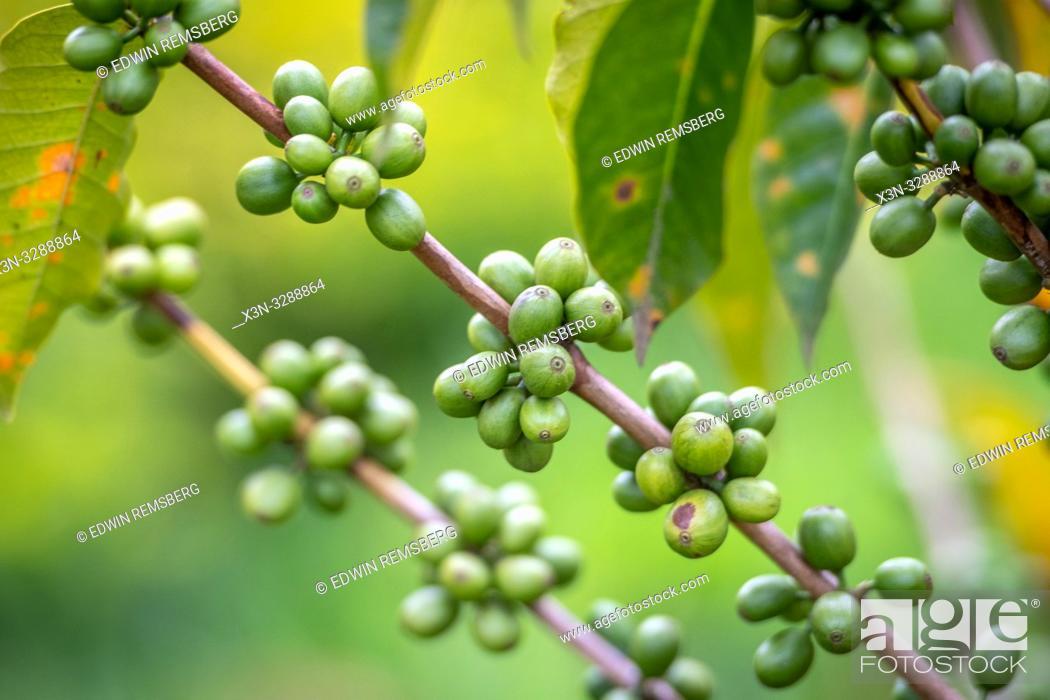 Stock Photo: Unripe coffee beans growing on tree in Rwanda.