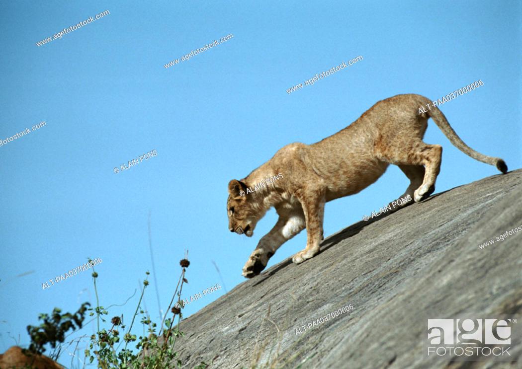 Stock Photo: Africa, Tanzania, lioness on rock.