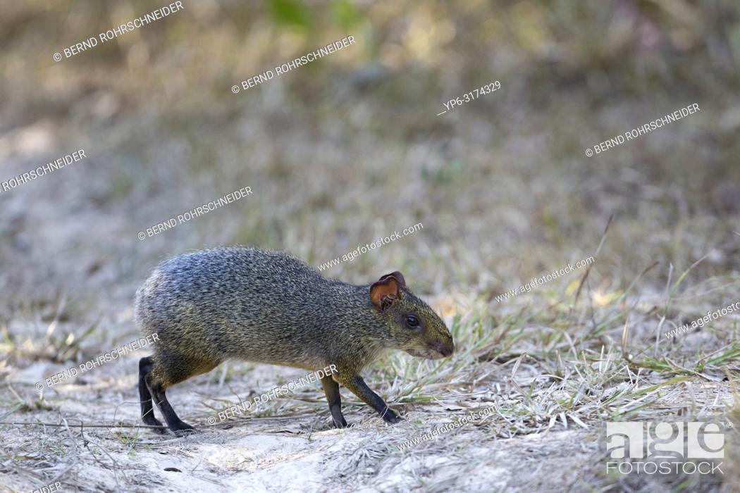Stock Photo: Azaraâ. . s Aguti (Dasyprocta azarae), adult walking on ground, Pantanal, Mato Grosso, Brazil.