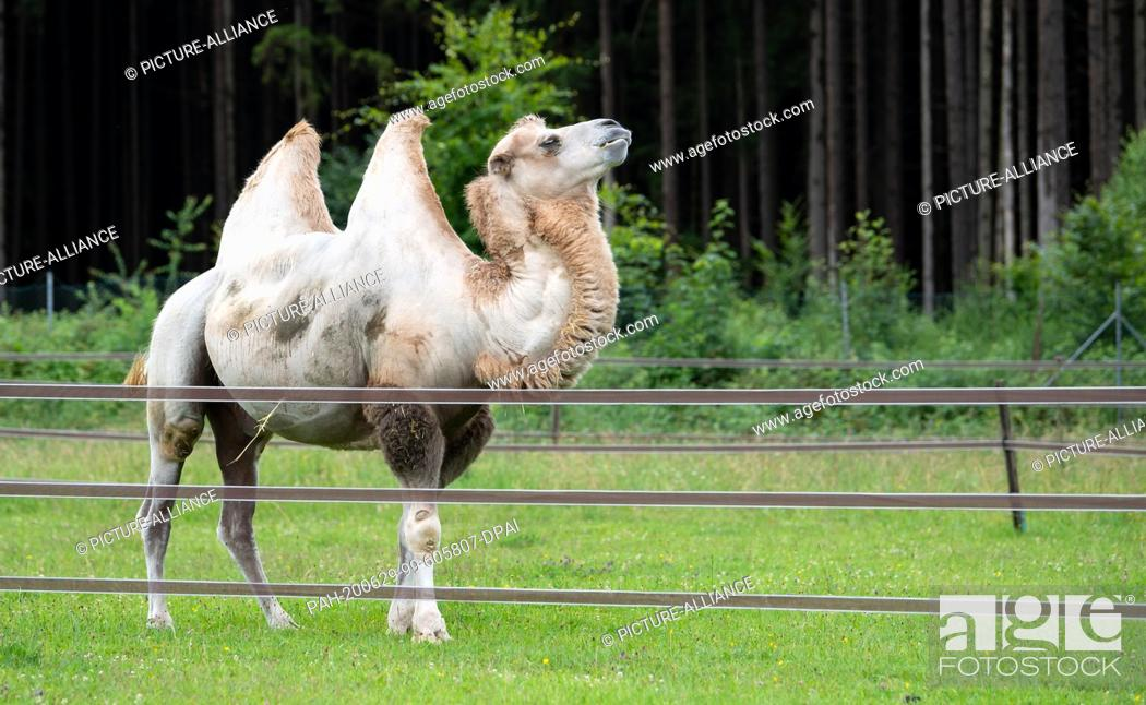 Stock Photo: 29 June 2020, Bavaria, Weßling: A camel is standing in a pasture on the Circus Krone Farm. The farm is normally used to house old circus animals.