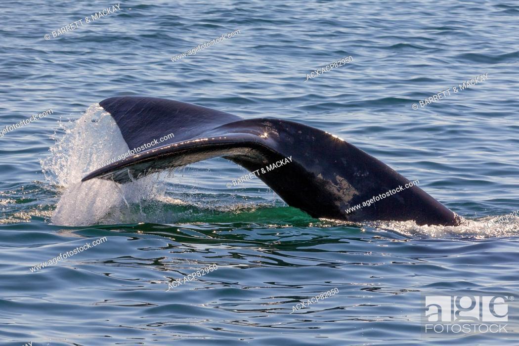 Stock Photo: North Atlantic Right Whale fluke, (Eubalaena glacialis), off Grand Manan Island, Bay of Fundy, New Brunswick, Canada.