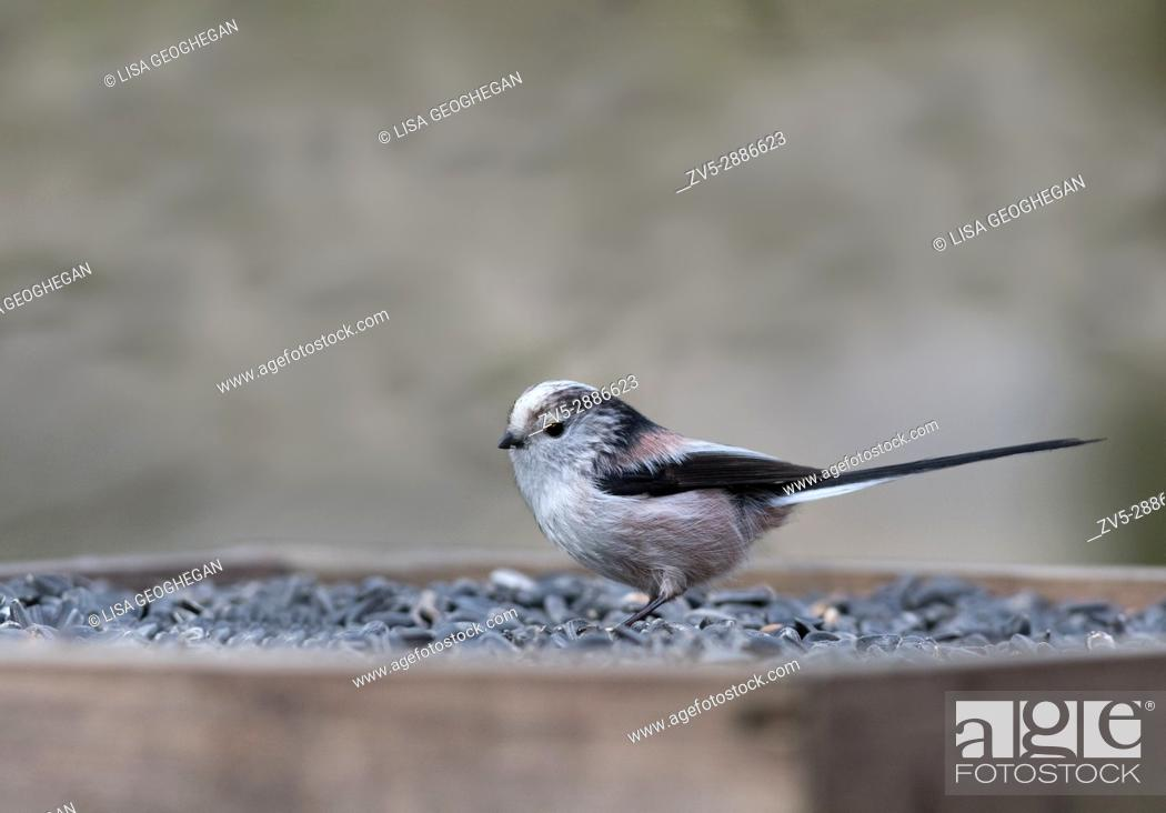 Stock Photo: Long-tailed Tit- Aegithalos caudatus. Spring. Uk.