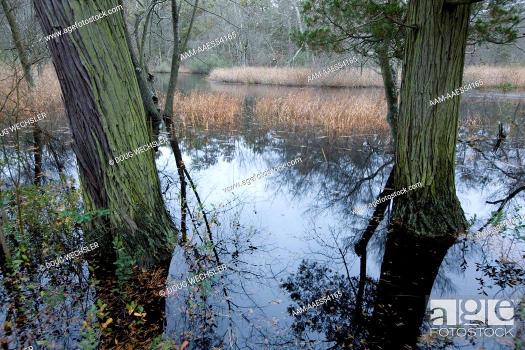 Stock Photo: Atlantic White Cedars (Chamaecyparis thyoides) NJ, Mullica River; Pinelands National Reserve.