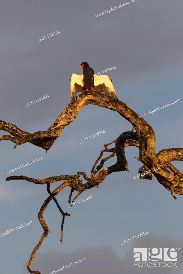 Stock Photo: A Bateleur Eagle preparing to fly.