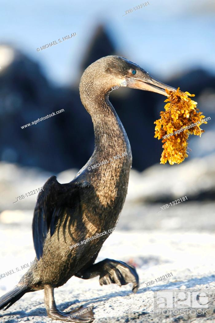 Stock Photo: Flightless cormorant Nannopterum harrisi adult returning from sea with nesting material in the Galapagos Island Group, Ecuador  This Galapagos endemic cormorant.