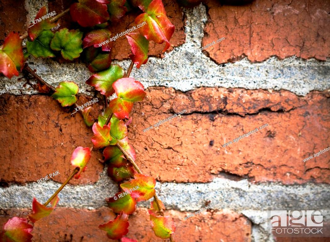 Stock Photo: Colorful ivy clinging and crawling on a distressed brick wall.