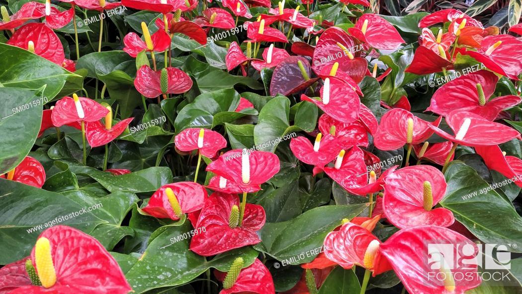 Stock Photo: Anthurium for sale.