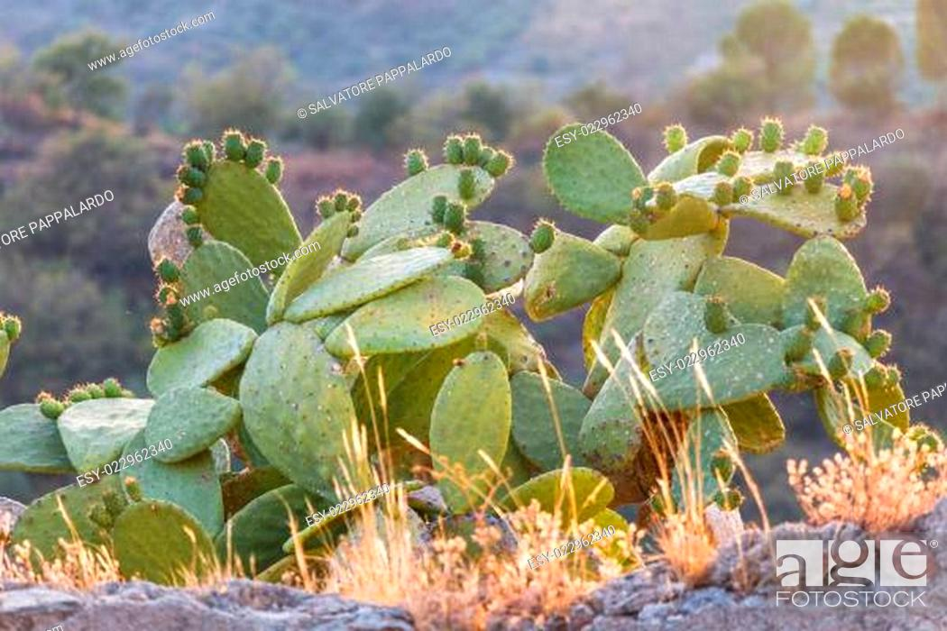 Stock Photo: Prickly Pear.
