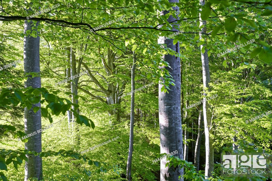 Stock Photo: Wood, deciduous forest, Buchenwald, Fagetum, tree, foliage tree, nature wood, fagus, Fagus sylvatica, copper beech, beech, old wood island, burgistein, come.