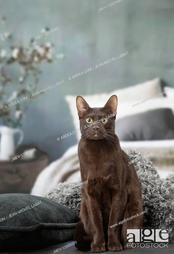 Stock Photo: Havana Brown cat indoors.